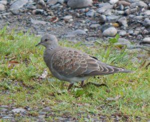 Turtle Dove – Balephuil, Tiree 04 Sep (John Bowler).