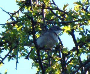 Common Whitethroat – Balephuil, Tiree 09 May (John Bowler).