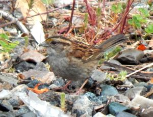 White-throated Sparrow – Vaul, Tiree 10 Jun (John Bowler).