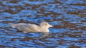 Juvenile Glaucous Gull Arrochar, Cowal/Clyde 10 Feb (Bill Allan).