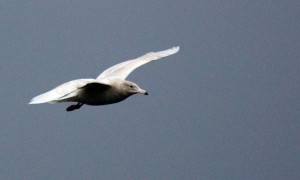 1w Glaucous Gull Head of Loch Fyne, Mid-Argyll 10 Feb (Bill Allan)
