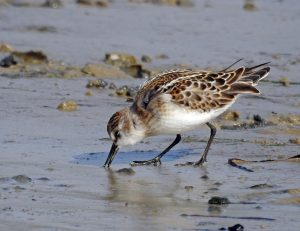 Little Stint Loch Indaal, Islay 17 Sept (Jim Dickson).