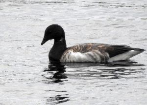 Pale-bellied Brent Goose Portnahaven, Islay 17 Sept (Jim Dickson).