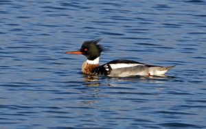Red-breasted Merganser - Sound of Gigha 5 Jan (Jim Dickson).