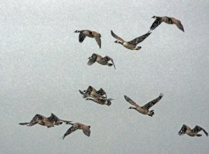 Canada Geese - Drimvore, Mid-Argyll 13 Dec (Jim Dickson).
