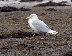 Glaucous Gull - Loch Gilp 19 Jan (Jim Dickson).
