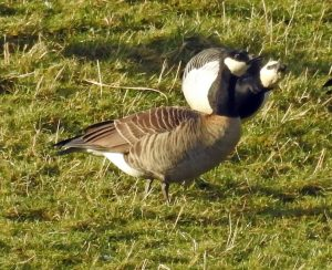 Cackling Goose - Islay 5 Feb (Jim Dickson)