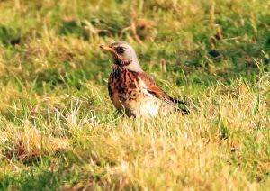 Fieldfare - Glen Massan, Cowal 9 Jan (Alistair McGregor).
