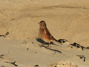 Linnet - Traigh Bhagh, Tiree 22 Jan (Steph Cope).