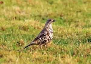 Mistle Thrush- Glen Massan, Cowal 9 Jan (Alsitair McGregor)