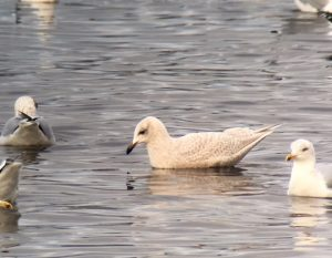 Kunlien's Gull - Ormsary, Mid-Argyll 5 Feb (Dan Brown).