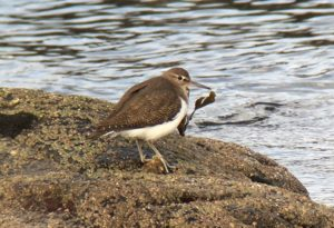 Common Sandpiper - Ronachan, Kintyre 5 Feb (Dan Brown).