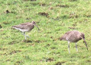 Whimbrel (left) - Inverlussa, Jura 31 Jan (Dan Brown).
