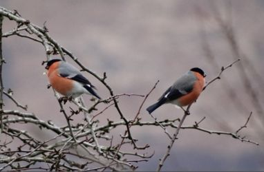 Bullfinches – Coshandrochaid (Loch Sween), Mid-Argyll 02 Mar (Sue and Kevin Richardson).