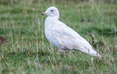 Iceland Gull Kilkenneth, Tiree 30 Sep (Richard Whitson).