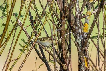 Yellow-browed Warbler Heylipol, Tiree 1 Oct (Richard Whitson).