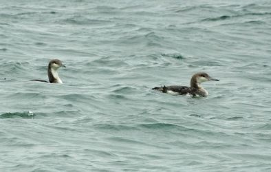 Black-throated Divers – Sound of Gigha 21 Jun (Jim Dickson).