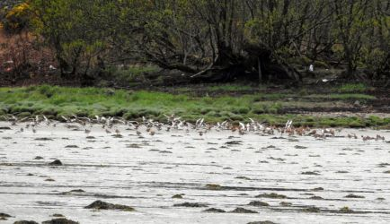 Black-tailed Godwits – Loch Gilp, Mid-Argyll 01 May (Jim Dickson).