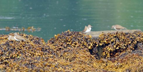 Common Sandpipers - Loch Gilp, Mid-Argyll 21 Jul (Jim Dickson).