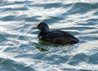 Common Scoter - Bowmore, Islay 09 Apr (George Newall).