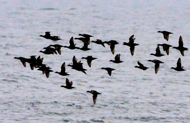 Common Scoters – MSBO, Kintyre – 04 Jul (Eddie Maguire).