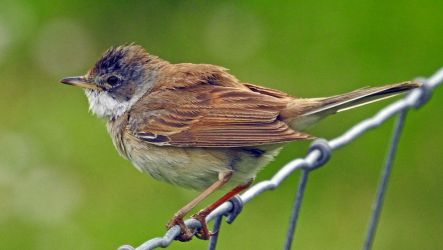 Common Whitethroat - Duntrune, Mid-Argyll 29 May (Jim Dickson).