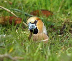 Hawfinch – Lochdon, Mull 24 Apr (Jim Dickson).