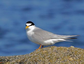 Little Tern – Tiree 13 May (Jim Dickson).