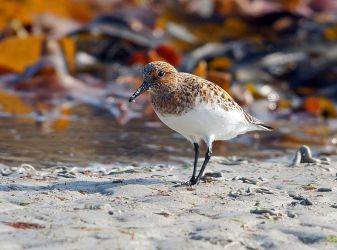 Sanderling – Tiree 12 May (Jim Dickson).