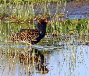 Ruff – Heylipol, Tiree 13 May (Jim Dickson).