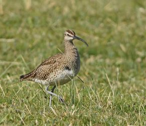 Whimbrel – Tiree 14 May (Jim Dickson).