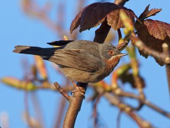 'Western' Subalpine Warbler - Kinnabus, Islay 16 May (Jim Dickson).