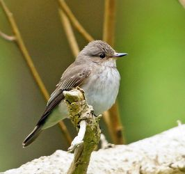 Spotted Flycatcher – Loch Gruinart, Islay 17 May (Jim Dickson).