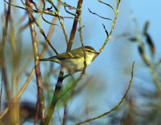 Yellow-browed Warbler Kilmoluaig, Tiree 9 Oct (Jim Dickson)