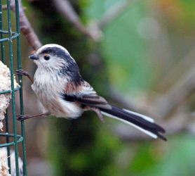 Long-tailed Tit - – Cairnbaan, Mid-Argyll 14 Jan (Jim Dickson).