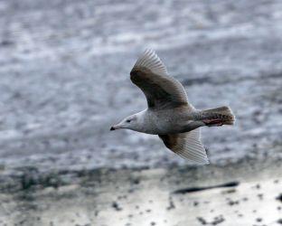 first winter Glaucous Gull - Loch Gilp, Mid-Argyll 13 Feb (Jim Dickson).