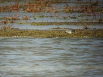Lesser Yellowlegs – Loch Gruinart, Islay 02 May (James How).
