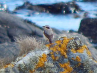 Northern Wheatear - Balephuil, Tiree 10 April (John Bowler).