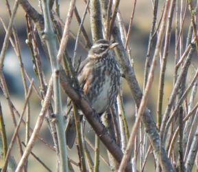 Redwing - Balephuil, Tiree 10 April (John Bowler).
