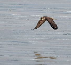 Peregrine Ardnave Point, Islay 16 Sept (Jim Dickson).