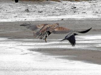 White-tailed Eagle Add Estuary, Mid-Argyll 3 Oct (Jim Dickson).