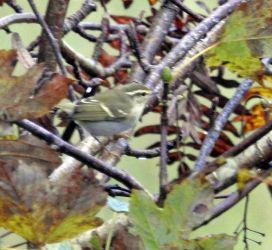 Yellow-browed Warbler Bellanoch 15 Oct (Jim Dickson).
