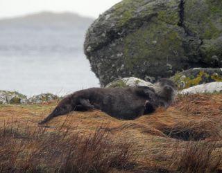 Otter – Danna, Loch Sween, Mid-Argyll 10 Jan (Jim Dickson).
