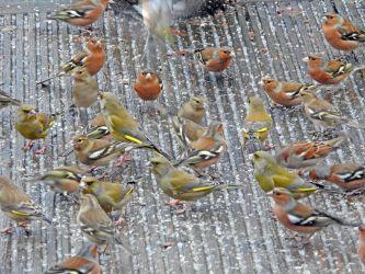 Finch flock (part) – Cairnbaan, Mid-Argyll 14 Jan (Jim Dickson).