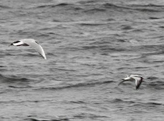 Little Gull – Loch Fyne, Mid-Argyll 16 Jan (Jim Dickson).