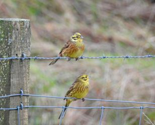 Yellowhammers - Kilmory Ross Farm (Loch Sween), Mid-Argyll (Jim Dickson).