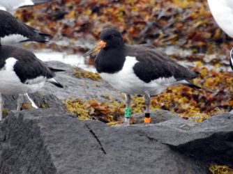colour-ringed Oystercatcher - Loch Gilp, Mid-Argyll 01 Sep (Jim Dickson).