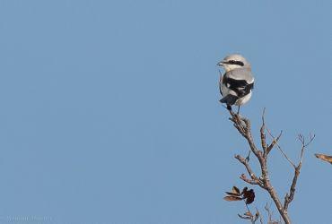 Great Grey Shrike – Lochdon, Mull 16 Oct (Steve Hiscock).
