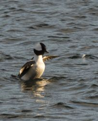 male Bufflehead - Oban Bay, Mid-Argyll 21 Apr (Przemek Wronski).