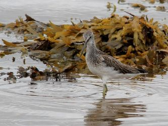 Greenshank – Campbeltown Loch, Kintyre 09 Sep (Steve and Tracey Seal).